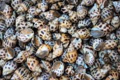Φρέσκο ακατέργαστο γλυκό σαλιγκάρι Φρέσκο υπόβαθρο areolata Babylonia στοκ φωτογραφία με δικαίωμα ελεύθερης χρήσης