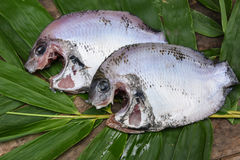 Φρέσκο ακατέργαστο σημείο μαργαριταριών ή πράσινα ψάρια chromide από το Κεράλα Ινδία Στοκ Εικόνες