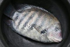 Φρέσκο ακατέργαστο σημείο μαργαριταριών ή πράσινα ψάρια chromide από το Κεράλα Ινδία Στοκ Φωτογραφίες