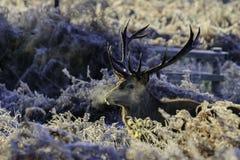 Φρέσκο αρσενικό ελάφι Στοκ φωτογραφία με δικαίωμα ελεύθερης χρήσης