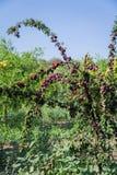 Φρέσκο δέντρο ροδακινιών στη Μαγιόρκα Inca, Μαγιόρκα, Ισπανία στοκ φωτογραφίες με δικαίωμα ελεύθερης χρήσης