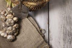 Φρέσκο επιλεγμένο σκόρδο που πλέκεται και σε έναν burlap σάκο με το φτυάρι και το καλάθι στοκ φωτογραφία με δικαίωμα ελεύθερης χρήσης