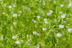 Φρέσκο λιβάδι με τα μικρά άσπρα λουλούδια και τα έντομα Στοκ Εικόνα