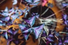 Φρέσκο ιώδες υπόβαθρο λουλουδιών crake ή λουλουδιών μπιζελιών πεταλούδων Στοκ Εικόνα