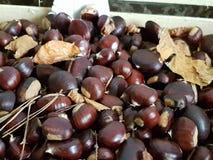 Φρέσκο κάστανο από το δάσος Στοκ εικόνες με δικαίωμα ελεύθερης χρήσης