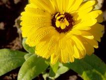 Φρέσκο κίτρινο λουλούδι Στοκ Φωτογραφία