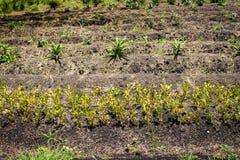 Φρέσκο καλαμπόκι στο σπάδικα με τα σιτάρια στοκ φωτογραφίες με δικαίωμα ελεύθερης χρήσης