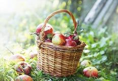 Φρέσκο καλάθι μήλων στον οπωρώνα Στοκ Εικόνες