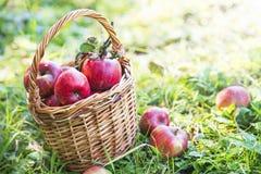 Φρέσκο καλάθι μήλων στον οπωρώνα Στοκ φωτογραφία με δικαίωμα ελεύθερης χρήσης