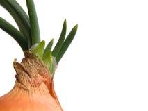 φρέσκο κρεμμύδι Στοκ εικόνα με δικαίωμα ελεύθερης χρήσης