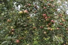 Φρέσκο κόκκινο μήλο σε ένα δέντρο στοκ εικόνες