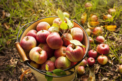 φρέσκο κόκκινο μήλο Στοκ φωτογραφία με δικαίωμα ελεύθερης χρήσης