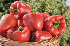φρέσκο κόκκινο πιπεριών κ&omicr Στοκ φωτογραφίες με δικαίωμα ελεύθερης χρήσης