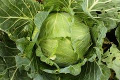 Φρέσκο λάχανο Στοκ Εικόνες