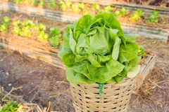 Φρέσκο λαχανικό φύλλων που καλλιεργείται στον πόλο μπαμπού όπως καλλιεργώντας Στοκ Εικόνες