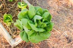 Φρέσκο λαχανικό φύλλων που καλλιεργείται στον πόλο μπαμπού όπως καλλιεργώντας Στοκ φωτογραφία με δικαίωμα ελεύθερης χρήσης