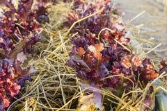 Φρέσκο λαχανικό φύλλων που καλλιεργείται στον πόλο μπαμπού όπως καλλιεργώντας στοκ εικόνα με δικαίωμα ελεύθερης χρήσης