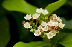 φρέσκο λευκό λουλουδ& Στοκ Φωτογραφία