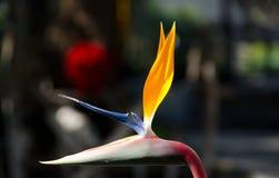 Φρέσκο λουλούδι πουλιών του παραδείσου Στοκ Εικόνα