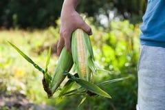 Φρέσκο οργανικό καλαμπόκι, ώριμα τρόφιμα γεωργίας στοκ εικόνα με δικαίωμα ελεύθερης χρήσης