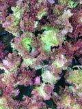 Φρέσκο οργανικό κόκκινο δρύινο αγρόκτημα λαχανικών σαλάτας μαρουλιού φύλλων ακατέργαστο lolla Rosa μαρουλιού υγιές υπόβαθρο τροφί Στοκ Φωτογραφία