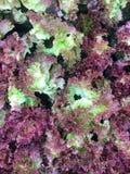 Φρέσκο οργανικό κόκκινο δρύινο αγρόκτημα λαχανικών σαλάτας μαρουλιού φύλλων ακατέργαστο lolla Rosa μαρουλιού υγιές υπόβαθρο τροφί Στοκ Φωτογραφίες