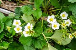 Φρέσκο οργανικό λουλούδι φραουλών στοκ εικόνες