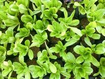 Φρέσκο οργανικό πράσινο αγρόκτημα λαχανικών σαλάτας ακατέργαστο υγιές υπόβαθρο τροφίμων veggies φυσικό Τοπ όψη στοκ εικόνα
