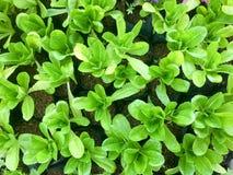 Φρέσκο οργανικό πράσινο αγρόκτημα λαχανικών σαλάτας ακατέργαστο υγιές υπόβαθρο τροφίμων veggies φυσικό Τοπ όψη στοκ φωτογραφία