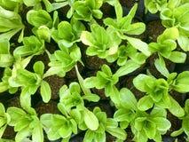 Φρέσκο οργανικό πράσινο αγρόκτημα λαχανικών σαλάτας ακατέργαστο υγιές υπόβαθρο τροφίμων veggies φυσικό Τοπ όψη στοκ εικόνες
