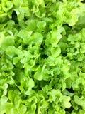 Φρέσκο οργανικό πράσινο δρύινο αγρόκτημα λαχανικών σαλάτας μαρουλιού φύλλων ακατέργαστο υγιές υπόβαθρο τροφίμων veggies φυσικό Το στοκ εικόνα με δικαίωμα ελεύθερης χρήσης