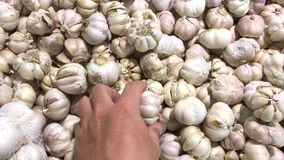 Φρέσκο οργανικό υγιές σκόρδο στην αγορά τροφίμων Λαχανικό σκόρδου Κλείστε επάνω 4k το μήκος σε πόδηα Χέρι ατόμων που επιλέγει το  φιλμ μικρού μήκους