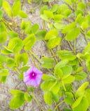 Φρέσκο λουλούδι κινηματογραφήσεων σε πρώτο πλάνο της δόξας πρωινού παραλιών (pes-caprae Ipomoea) Στοκ Φωτογραφίες