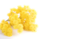 Φρέσκο λουλούδι mimosa στο λευκό Στοκ Φωτογραφία