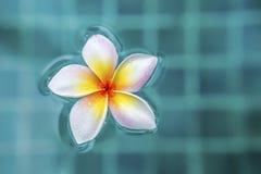 Φρέσκο λουλούδι Plumeria που επιπλέει στην πισίνα Στοκ Φωτογραφία