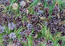 Φρέσκο πεύκων Pinecone χλωρίδας τροφίμων πεύκων βελόνων κλάδων κωνοφόρων νεαρών βλαστών αγροτικών δέντρων κινηματογραφήσεων σε πρ στοκ εικόνα με δικαίωμα ελεύθερης χρήσης