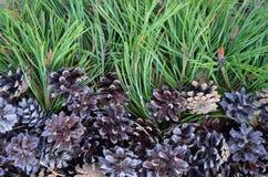 Φρέσκο πεύκων Pinecone χλωρίδας τροφίμων πεύκων βελόνων κλάδων κωνοφόρων νεαρών βλαστών αγροτικών δέντρων κινηματογραφήσεων σε πρ στοκ εικόνες