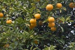 Φρέσκο πορτοκάλι στο φυτό, πορτοκαλί δέντρο Στοκ Εικόνα