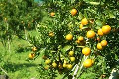 Φρέσκο πορτοκάλι στο φυτό, πορτοκαλί δέντρο Στοκ Φωτογραφία