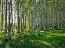 Φρέσκο πράσινο άλσος χλόης και σημύδων Δασική σκηνή άνοιξη στοκ φωτογραφία με δικαίωμα ελεύθερης χρήσης