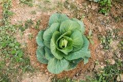Φρέσκο πράσινο λάχανο, οργανικά λαχανικά στον κήπο κατωφλιών στοκ φωτογραφία με δικαίωμα ελεύθερης χρήσης