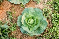 Φρέσκο πράσινο λάχανο, οργανικά λαχανικά στον κήπο κατωφλιών στοκ φωτογραφίες με δικαίωμα ελεύθερης χρήσης