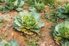 Φρέσκο πράσινο λάχανο, οργανικά λαχανικά στοκ εικόνες
