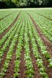 Φρέσκο πράσινο λάχανο σαλάτας στη θερινή γεωργία τομέων Στοκ Εικόνες