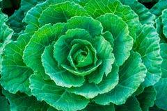 Φρέσκο πράσινο λάχανο στο φυτικό κήπο Στοκ Φωτογραφία