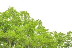 φρέσκο πράσινο λευκό φύλλων ανασκόπησης Στοκ Εικόνα