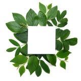 Φρέσκο πράσινο λευκό φύλλων borderon Επίπεδος βάλτε Τοπ όψη στοκ εικόνες