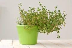 Φρέσκο πράσινο θυμάρι χορταριών πράσινο flowerpot στο άσπρο υπόβαθρο Στοκ φωτογραφίες με δικαίωμα ελεύθερης χρήσης