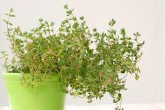 Φρέσκο πράσινο θυμάρι χορταριών πράσινο flowerpot στο άσπρο υπόβαθρο Στοκ εικόνες με δικαίωμα ελεύθερης χρήσης