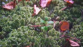 Φρέσκο πράσινο καλυμμένο βρύο έδαφος πιό forrest στο σε αργή κίνηση απόθεμα βίντεο